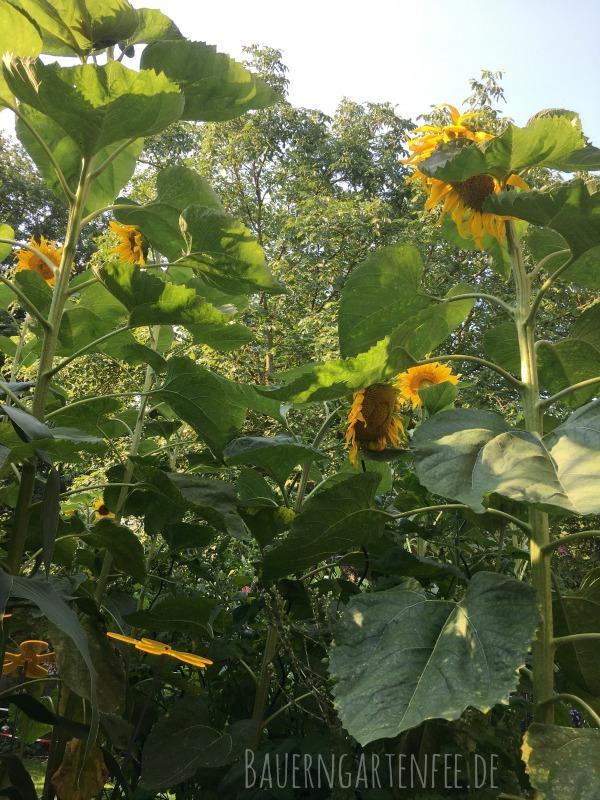 Meine riesigen Sonnenblumen. Foto: Petra A. Bauer 2018.