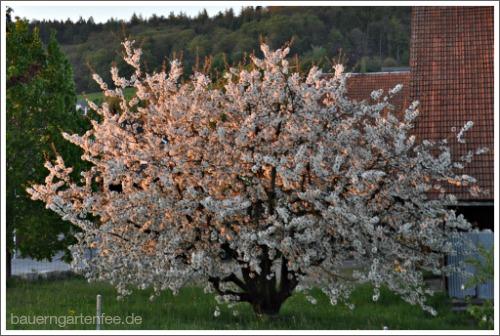 Baumblüte im Schweizer Abendrot