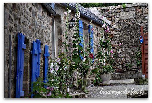 Stockrosen in Locronan / Bretagne