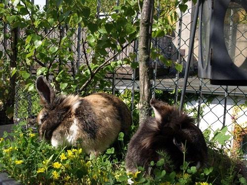 Kaninchengras