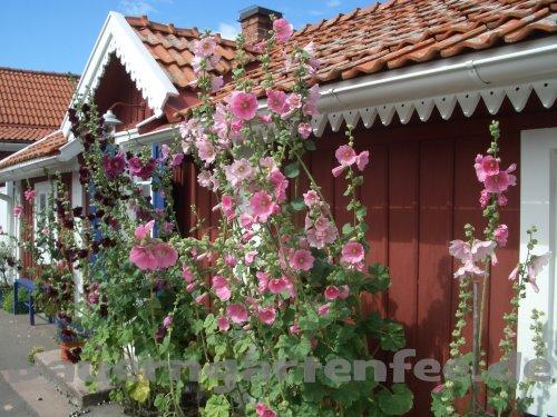 Stockrosenromantik auf Öland, Schweden