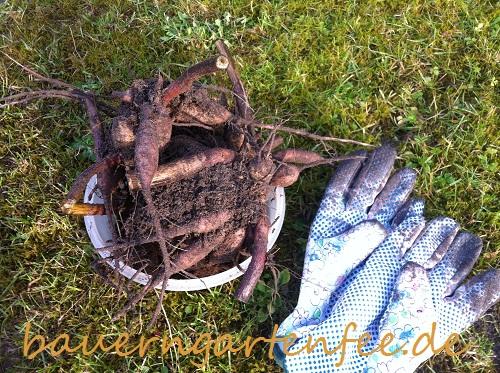 Dahlienknollen ausgraben