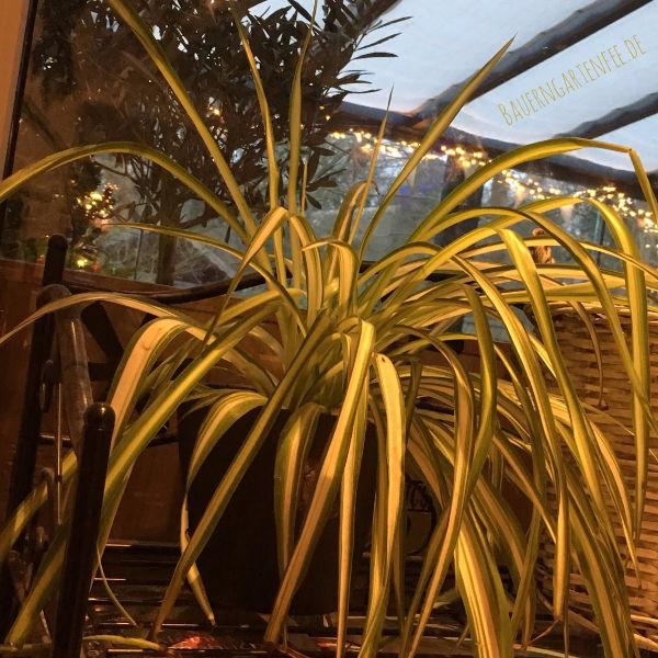 Grünlilie am Küchenfenster. Foto: Petra A. Bauer 2018.