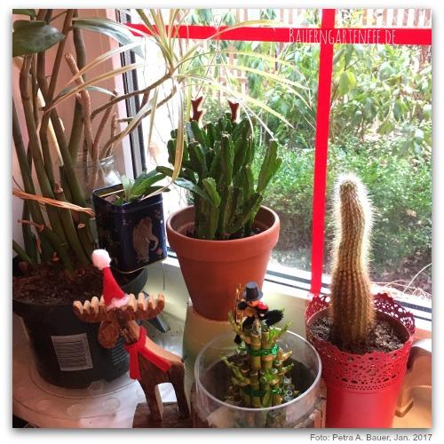 Die neue Euphorbie mit der Plantgang am Wohnzimmerfenster, Januar 2017