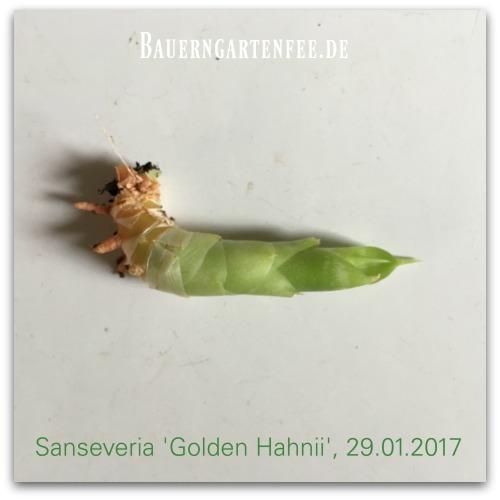 Ableger von Sanseveria 'Golden hahnii'
